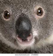 Stock-photo-close-up-portrait-of-male-koala-bear-phascolarctos-cinereus-years-old-37496683