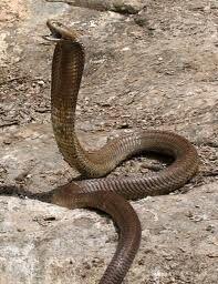 Cobra de Ashe.jpg