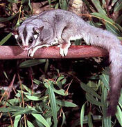 Petaurus-norfolcensis