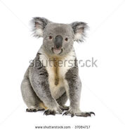 Stock-photo-portrait-of-male-koala-bear-phascolarctos-cinereus-years-old-in-front-of-white-background-37084717