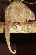 Pseudochirops-archeri.green-ringtail-possum.pseuarc2-il
