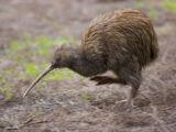Kiwi común