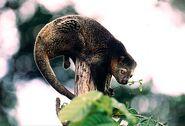 Ailurops ursinus