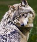 1309080400 mexicanwolf.jpg