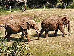 250px-Elephant.pair.750pix.jpg