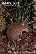 Long-footed-potoroo