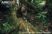 Dorias-tree-kangaroo-on-forest-floor