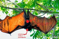 Male-large-flying-fox-with-wings-outstretched