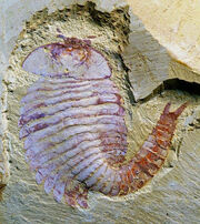 Fosil-artropodo--644x724.jpg