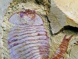 Descubren fosilizado el complejo cerebro de un artrópodo en China.