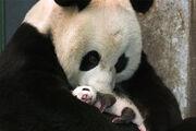 1908080110 panda3.jpg