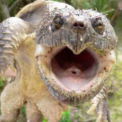 Tortuga mordChelydra serpentina osceola M 12Jun05 1o.jpg
