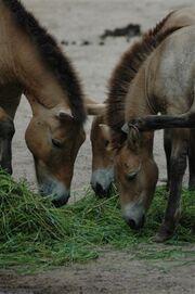 0311080212 caballoprzewalski3.jpg