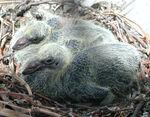 Rock Dove Nestlings.jpg