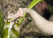 Spilocuscus maculatus, Common spotted cuscus juvenile captive,tail detail, Kri Eco, Raja Ampat, West Papua IMG 4367