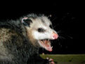 240px-AwesomePossum-AmericanOpossum.jpg