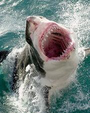 1509080210 tiburon blanco6.jpg