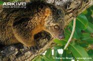 Close-up-of-bear-cuscus