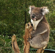 300px-Koala