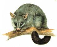 Trichosurus vulpecula-Cayley