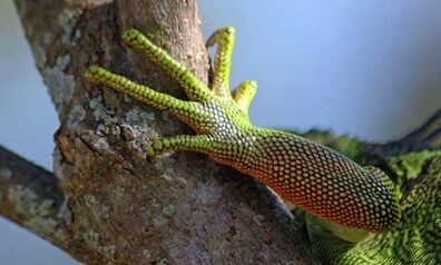 Iguanas-caracteristicas.jpg