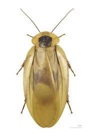 400px-Blaberus giganteus MHNT dos.jpg