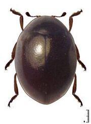 Coccidophilus occidentalis.jpg