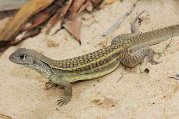 Self-cloning-lizard (1).jpg