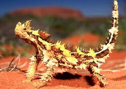 Moloch horridus diablo australiano.jpg