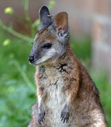 20081118 tammar wallaby