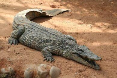 Huge Crocodile in Zoo 600.jpg