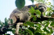 Kuskus Beruang Ailurops ursinus