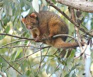 M019 Ring-tailed Possum copy