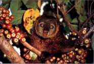 Bear Cuscus Kuse Ailurops ursinus