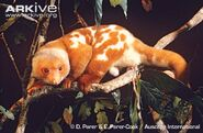 Common-spotted-cuscus-on-branch