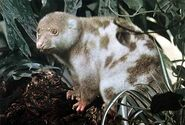 Phalanger maculatus-500