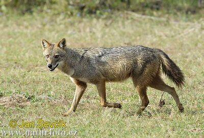 Canis-aureus--canis-aureus-sakal.jpg