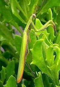 Mantis-205x300.jpg
