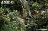 Female-brush-tailed-rock-wallaby-with-young