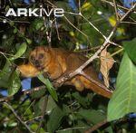 Small-Sulawesi-cuscus-feeding-on-leaf