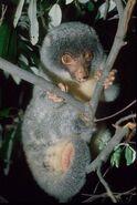 Spilocuscus-maculatus.common-spotted-cuscus.spilmac2-il