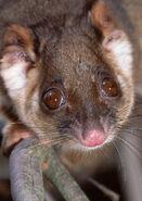Pseudocheirus peregrinus, Common ringtail possum, Australia