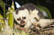 Spilocuscus maculatus, Common spotted cuscus juvenile female captive, Kri Eco, Raja Ampat, West Papua IMG 4363
