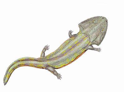 Pelorocephalus.jpg