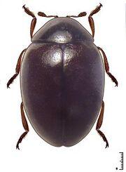 Coccidophilus citricola2.jpg