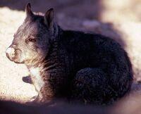 153 Southern Hairy-Nosed Wombat Lasiorhinus latifrons.jpg
