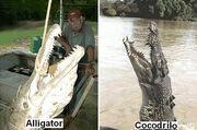 Pez cocodrillo o alligator gar 3.jpg