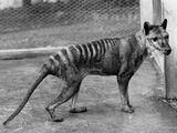 Lobo marsupial o Tilacino