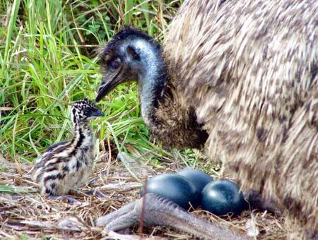 Emu-nest.jpg