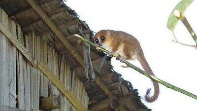 Lemur-raton-madagascar.jpg 400.jpg